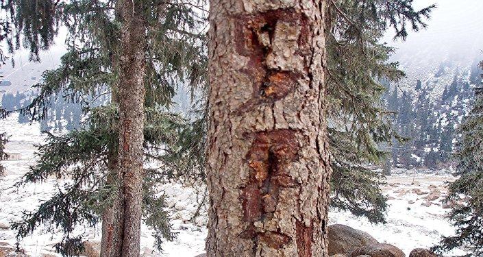 Spuren der Verwüstung auch an noch stehenden Bäumen
