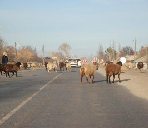 Schaf Kirgistan