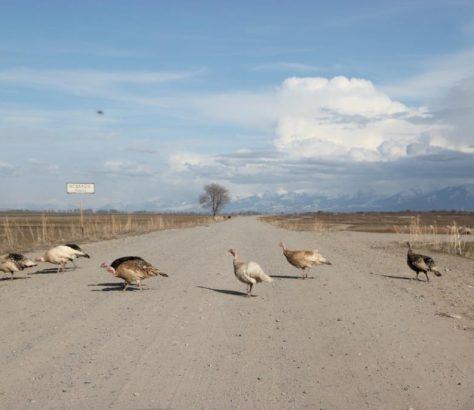 Gänse Kirgistan Issikölsee