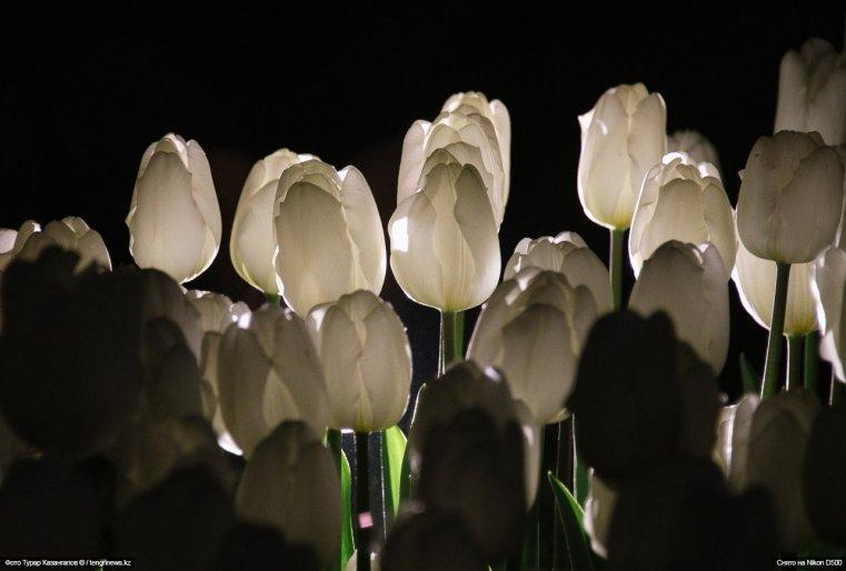 Tulpen Schymkent