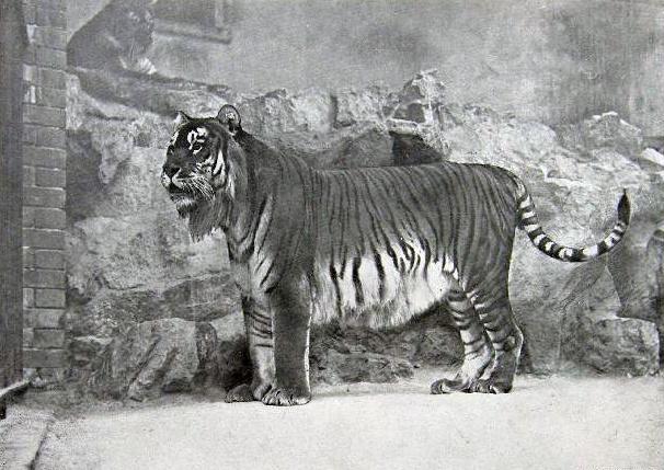 Kaspischer Tiger Zoologischer Garten Berlin