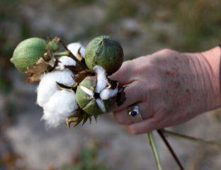 Baumwolle Ernte
