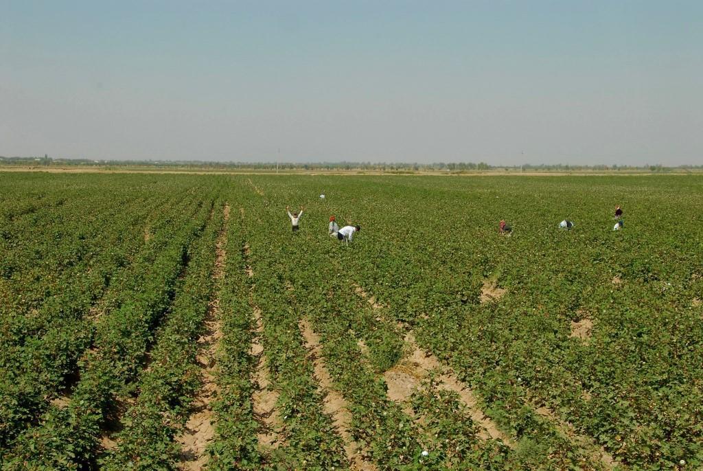Arbeiter bei der Baumwollernte in Usbekistan