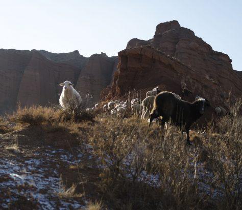 Landwirtschaft Schafe Kirgistan Zentralasien