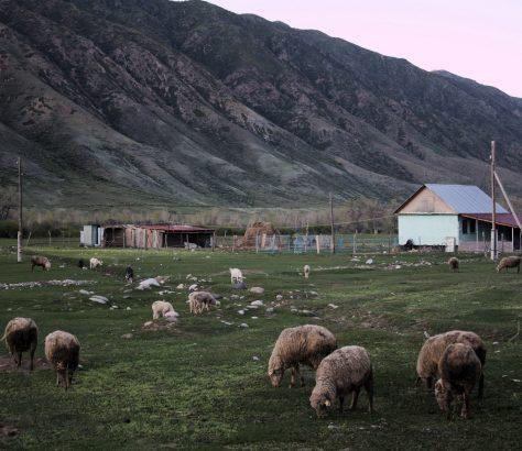 Schafe Saty Kasachstan Viehzucht