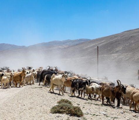 Tadschikistan Pamir-Highway Bild des Tages Ziege