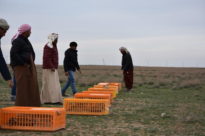 Die Käfige stehen schon in der Wüste. Gleich werden sie geöffnet.
