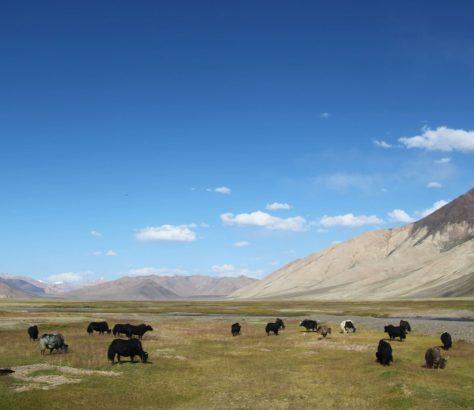 Pamir Weide Yaks Tadschikistan Bild des Tages
