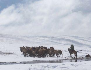 Kamele Schnee Kirgistan