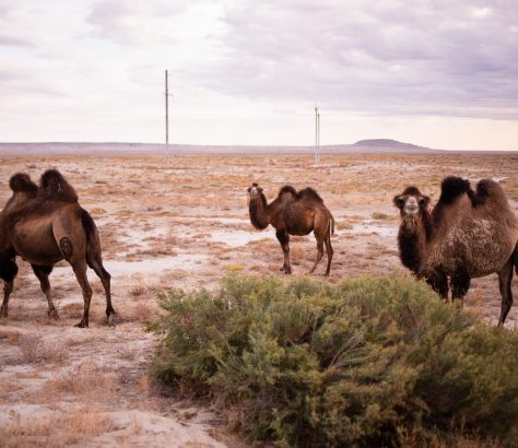 Aralsee Kasachstan Wüste Kamele