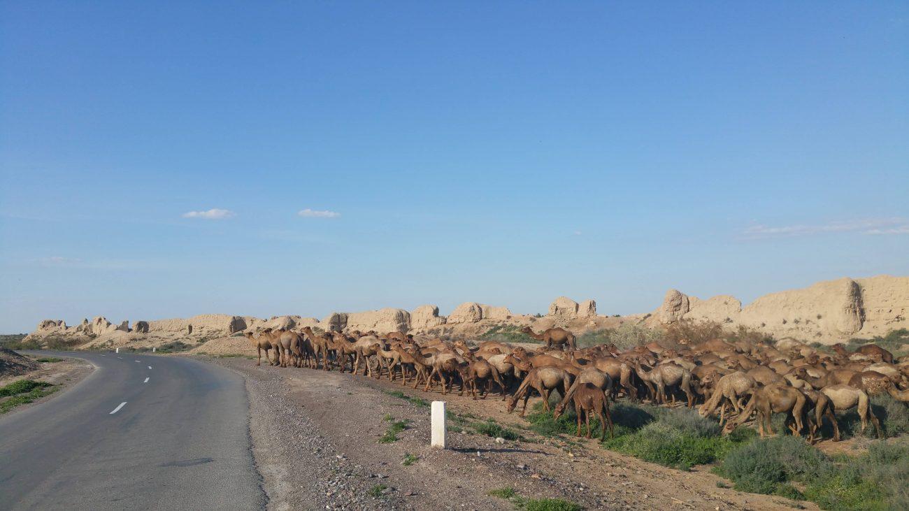 Turkmenistan Merv Vieh Weide