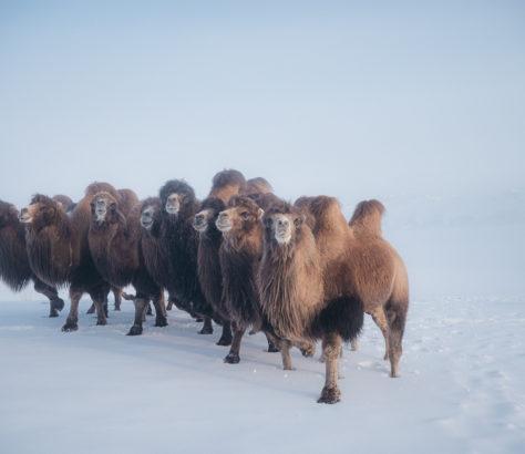kirgistan Théo Saffroy schnee winter Kamele
