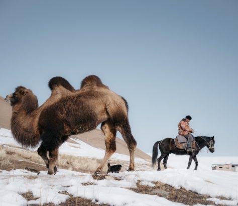 Kamele Kirgistan Théo Saffroy