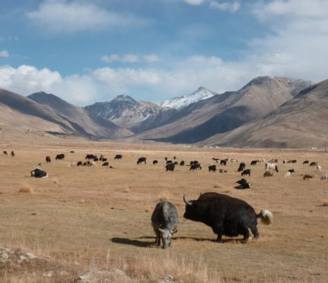 Tadschikistan Pamir Yaks Yakherde