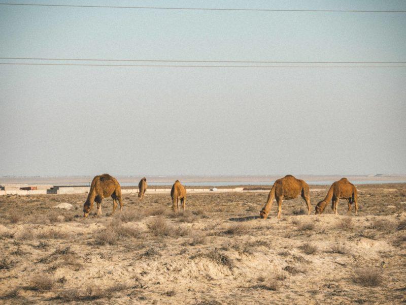 Dromedar-Weiden Aktau kasachstan