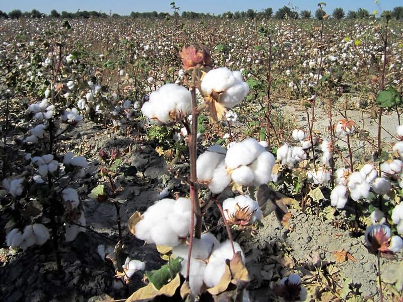 Cotton field in Uzbekistan