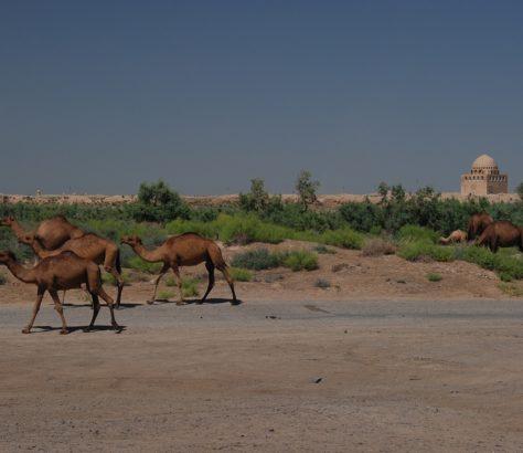 Camels Ruins Merv Turkmenistan