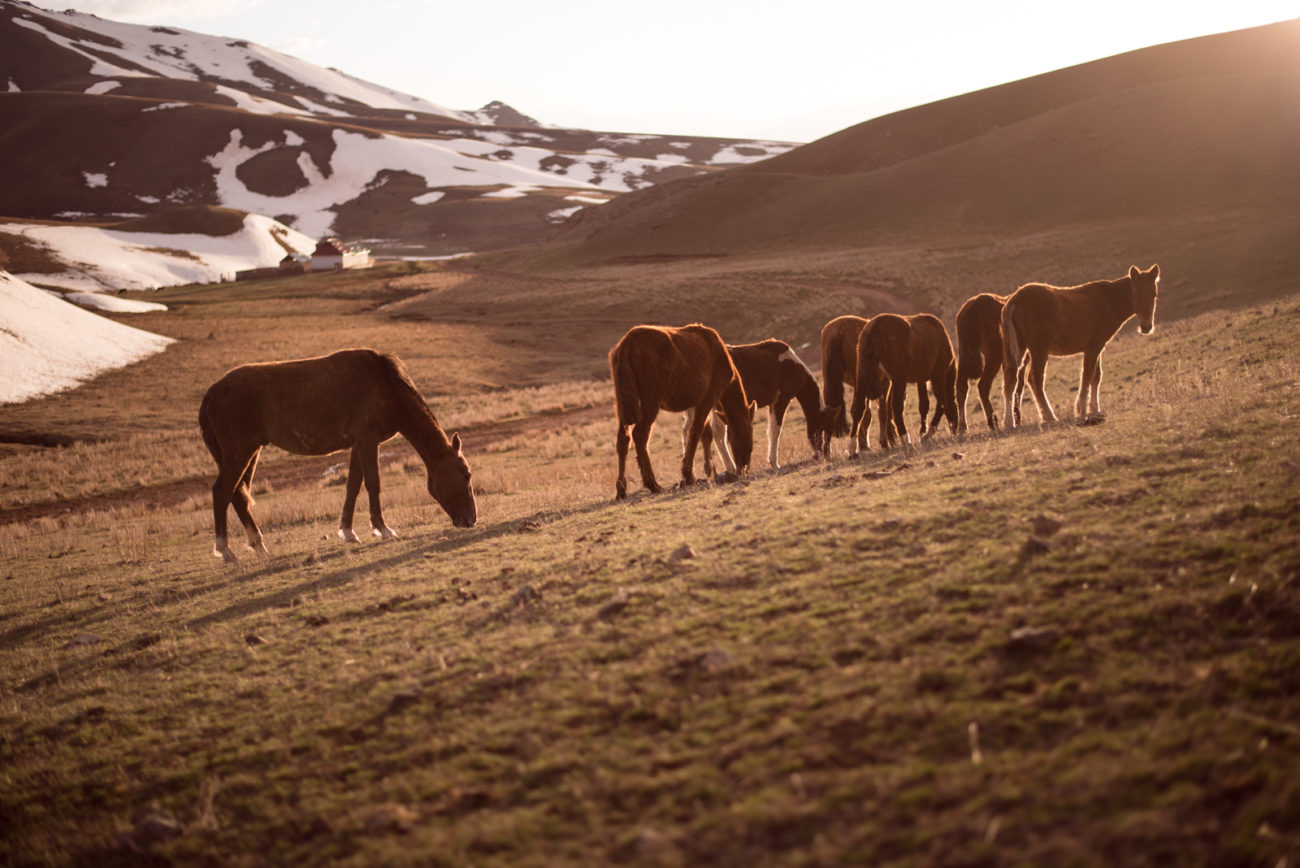 Horses in the wild kyrgyzstan steppe spring