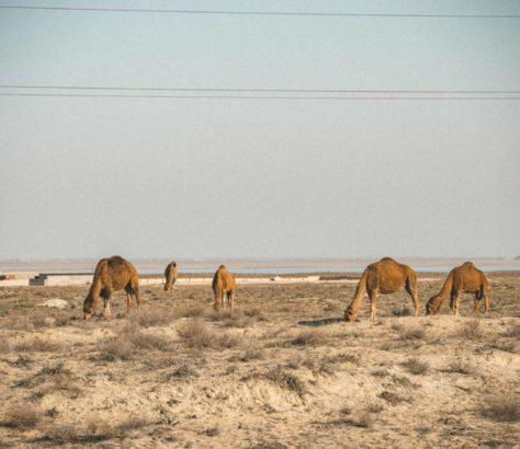 Dromedary plains kazakhstan aktau camels