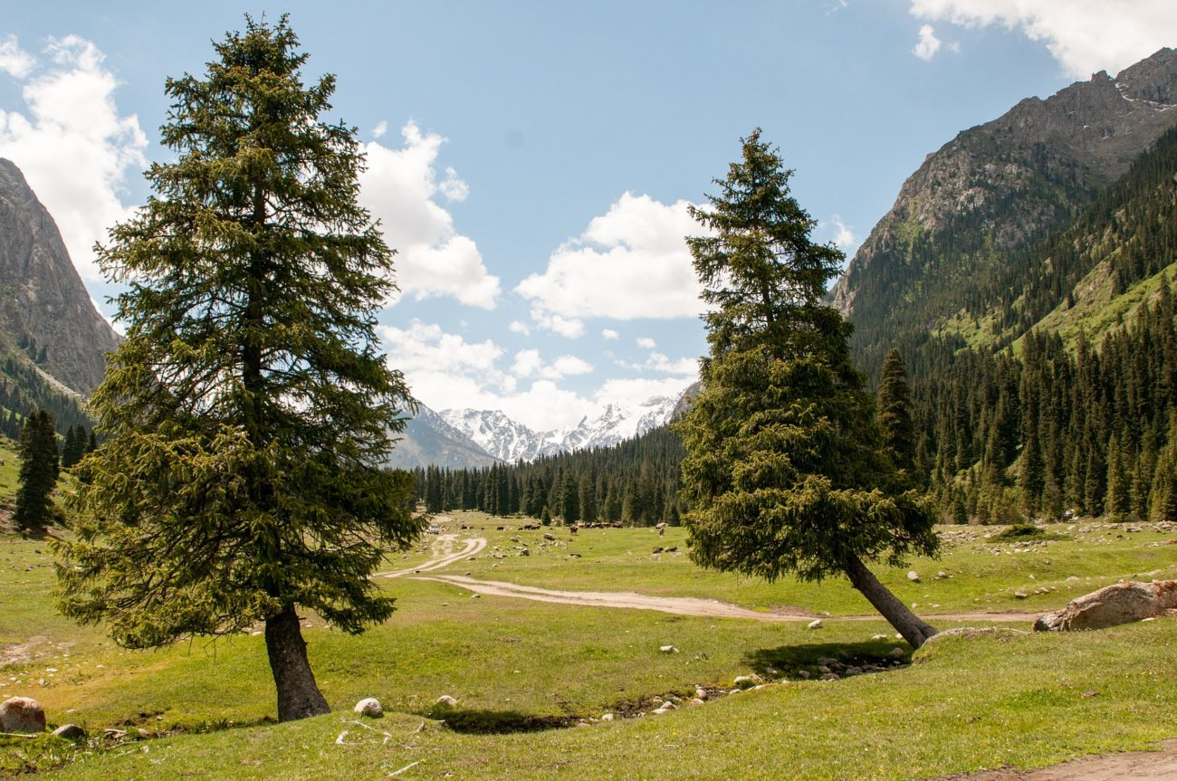 Forêt Sapin Kirghizstan Déforestation