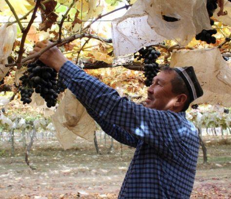 Vin Tadjikistan Viticulteur Vigne Raisin