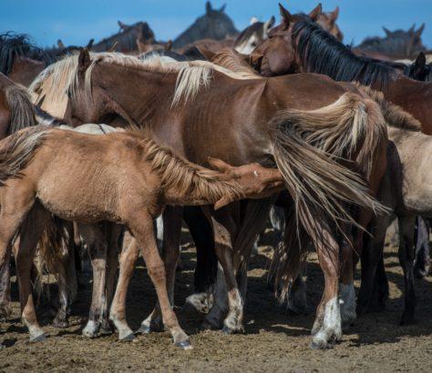 Des chevaux kazakhs