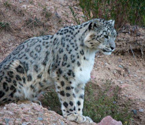 Léopard des neiges Panthère OSI Panthera Kirghizstan