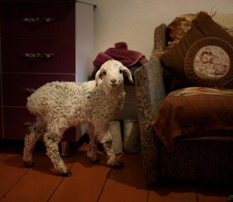 Un agneau au foyer au Kirghizstan