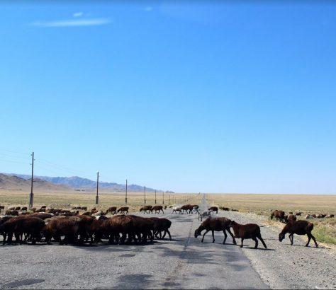 Moutons Nourata Ouzbékistan Boukhara Aykal lac