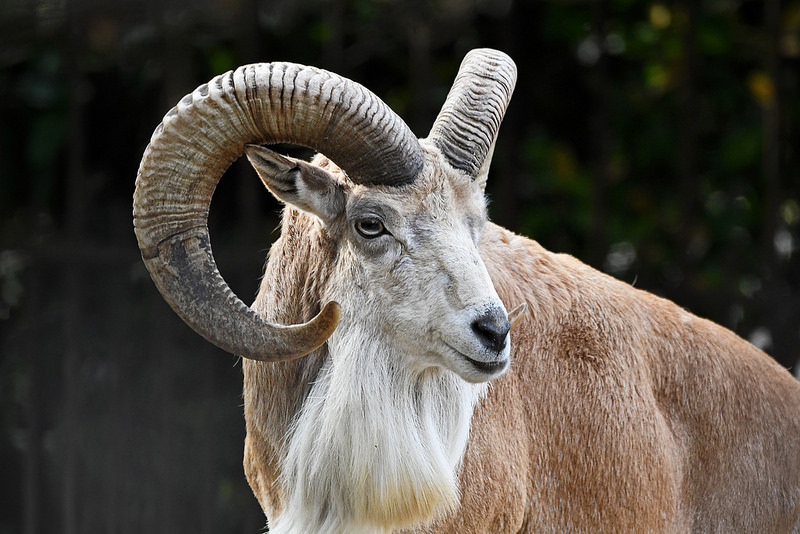 Urial Animal Asie centrale