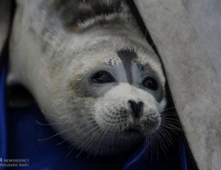 Mer Caspienne Phoque Protection Livre Rouge Kazakhstan