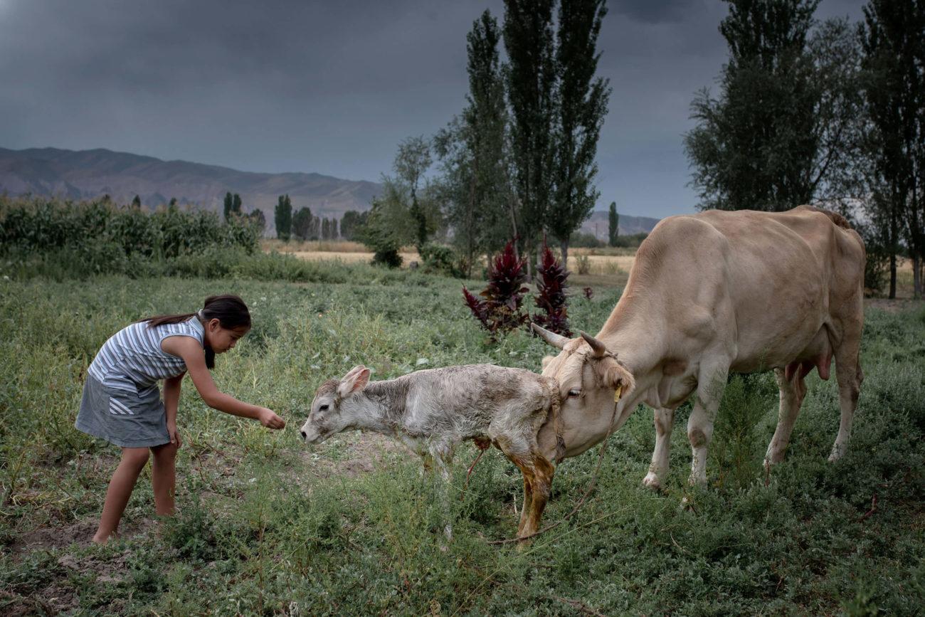 Nouveau-né veau Kirghizstan