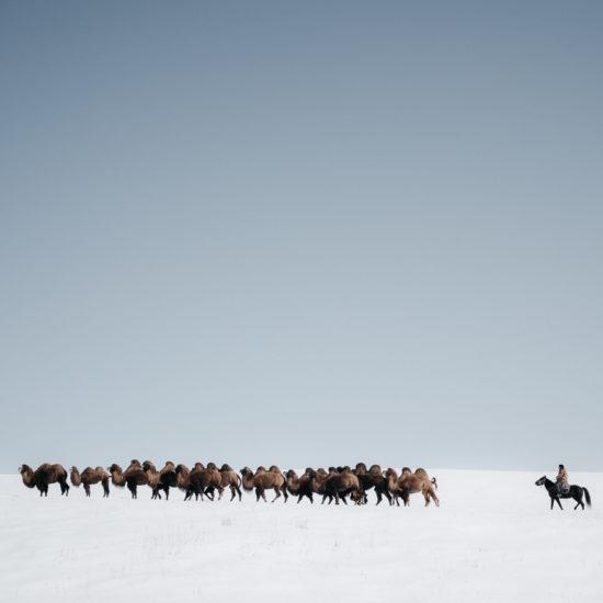Kirghizstan chamelier chameaux neige Boirok-Bulak troupeau