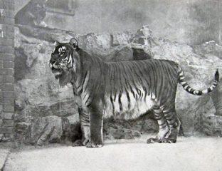 Tigre de la Caspienne Lac Balkhach Ile-Balkhach Réintroduction Environnement
