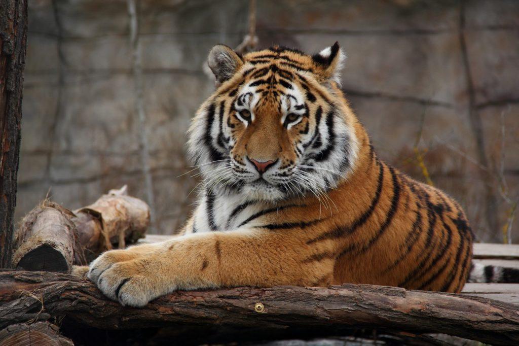Tigre de la Caspienne Lac Balkhach Ile-Balkhach Réintroduction Environnement Tigre de l'amour