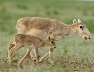 Saïga Kazakhstan Environnement Protection Recensement