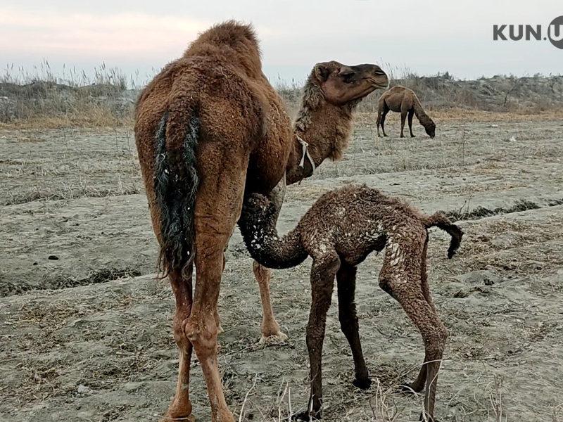 chameaux ouzbékistan nature steppes Ferghana élevage