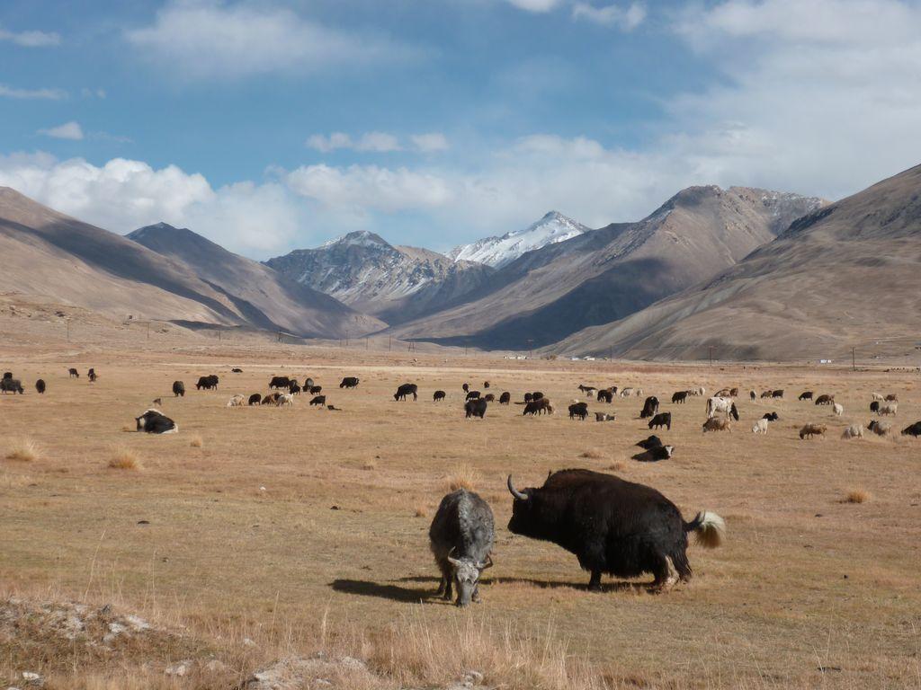 Tadjikistan yacks Pamir troupeau