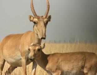 Saïga Antilope Troupeau Kazakhstan Foudre