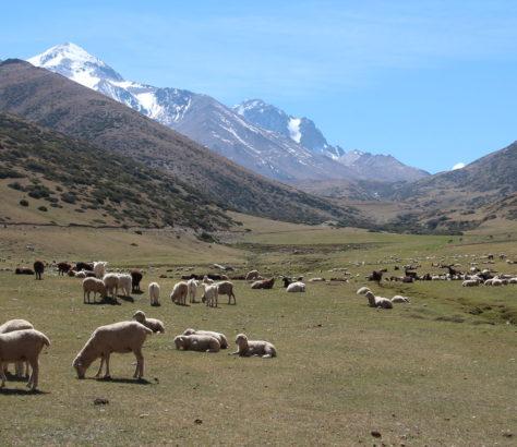 Mouton Asie centrale Agropastoralisme Kirghizstan Recherche