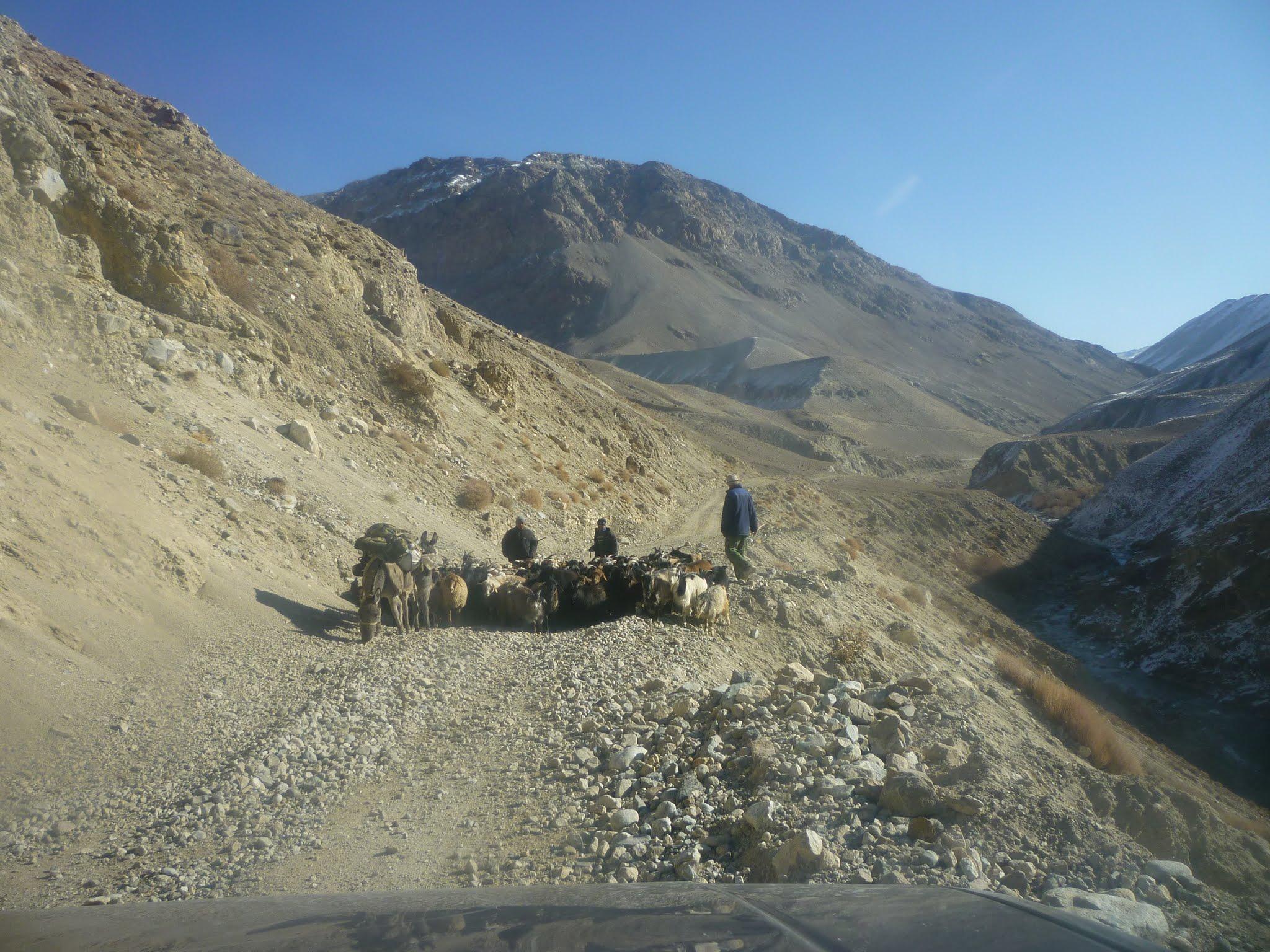 Circulation troupeau Pamir Tadjikistan.