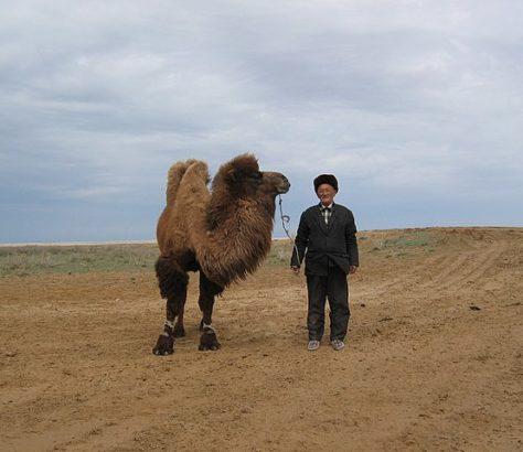 Kazakhstan Steppe Chameau